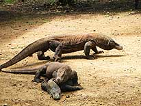 Flores: Komodo Dragons on the islands of Komodo and Rinca, West of Flores