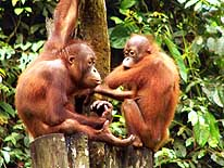 East Malaysia/Sabah/Sepilok near Sandakan on the island of Borneo: 2 Orang Utan 'Youngsters' among themselves