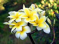 Tahiti/French Polynesia: One type of Tahiti's main flower with many names - Frangipani, Plumeria, Tiare