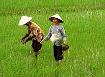 Vietnam: Two women cultivating a rice field