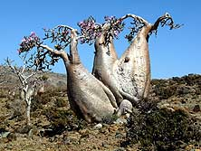 Yemen/Island of Socotra: Bottle trees (Desert Roses) on the Momi Plateau